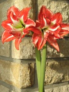 Les trucs et astuces jardin fleurs ma grand mere m 39 a dit for Amaryllis ne fleurit pas